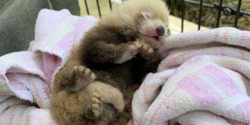 A newborn red panda at Smithsonian Biology Institute