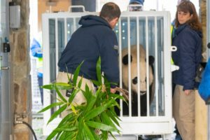 Curators help load Bei Bei into the crate he'll fly to China in.
