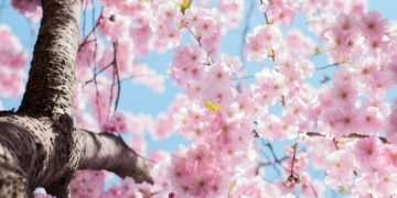 A cherry blossom tree