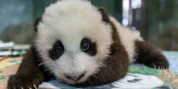 A giant panda cub at the National Zoo.