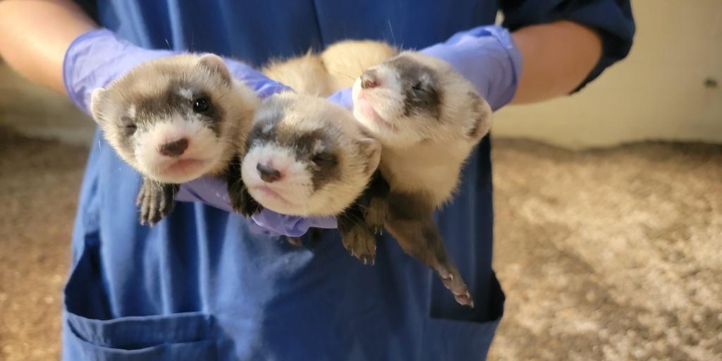 ferrets, National Zoo